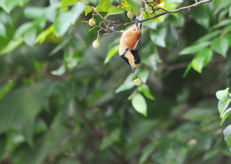 男山の野鳥たち (10態-10) 男山 八幡市 2016/07/29 - 09/19 Photo by Takase