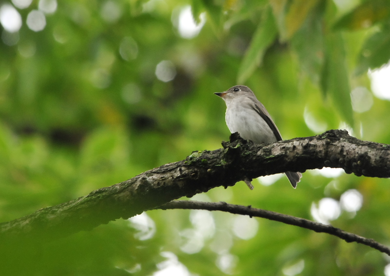男山の野鳥たち (10態-4) 男山 八幡市 2016/07/29 - 09/19 Photo by Takase