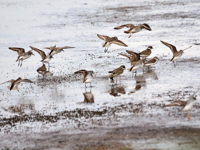 """ヒメハマシギ (15態-13) ブラック・ポイント・ドライブ メリット島国立野生動物保護区 メリット島 フロリダ 米国 """"Black Point Wildlife Drive"""" """"Merritt Island National Wildlife Refuge"""" Merritt Island, Atlantic coast of Florida, USA 2013/06/02 Photo by Kohyuh"""