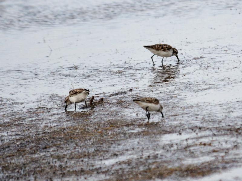 """ヒメハマシギ (15態-15) ブラック・ポイント・ドライブ メリット島国立野生動物保護区 メリット島 フロリダ 米国 """"Black Point Wildlife Drive"""" """"Merritt Island National Wildlife Refuge"""" Merritt Island, Atlantic coast of Florida, USA 2013/06/02 Photo by Kohyuh"""