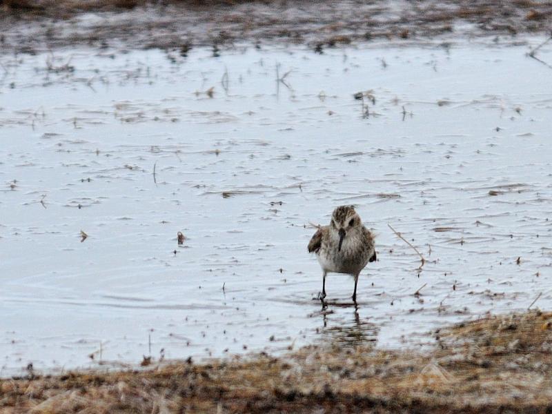 """ヒメハマシギ (15態-6) ブラック・ポイント・ドライブ メリット島国立野生動物保護区 メリット島 フロリダ 米国 """"Black Point Wildlife Drive"""" """"Merritt Island National Wildlife Refuge"""" Merritt Island, Atlantic coast of Florida, USA 2013/06/02 Photo by Kohyuh"""