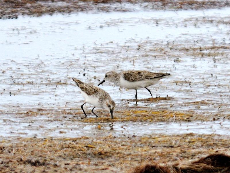 """ヒメハマシギ (15態-7) ブラック・ポイント・ドライブ メリット島国立野生動物保護区 メリット島 フロリダ 米国 """"Black Point Wildlife Drive"""" """"Merritt Island National Wildlife Refuge"""" Merritt Island, Atlantic coast of Florida, USA 2013/06/02 Photo by Kohyuh"""