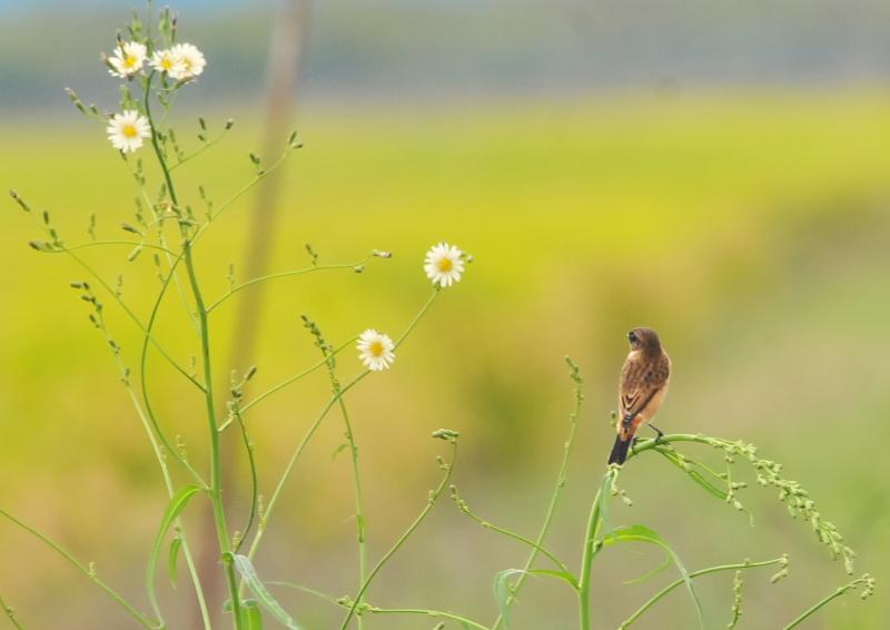 今が旬だよ 内里のノビタキたち (6態-1) 八幡市 2016/10/05 Photo by Takase